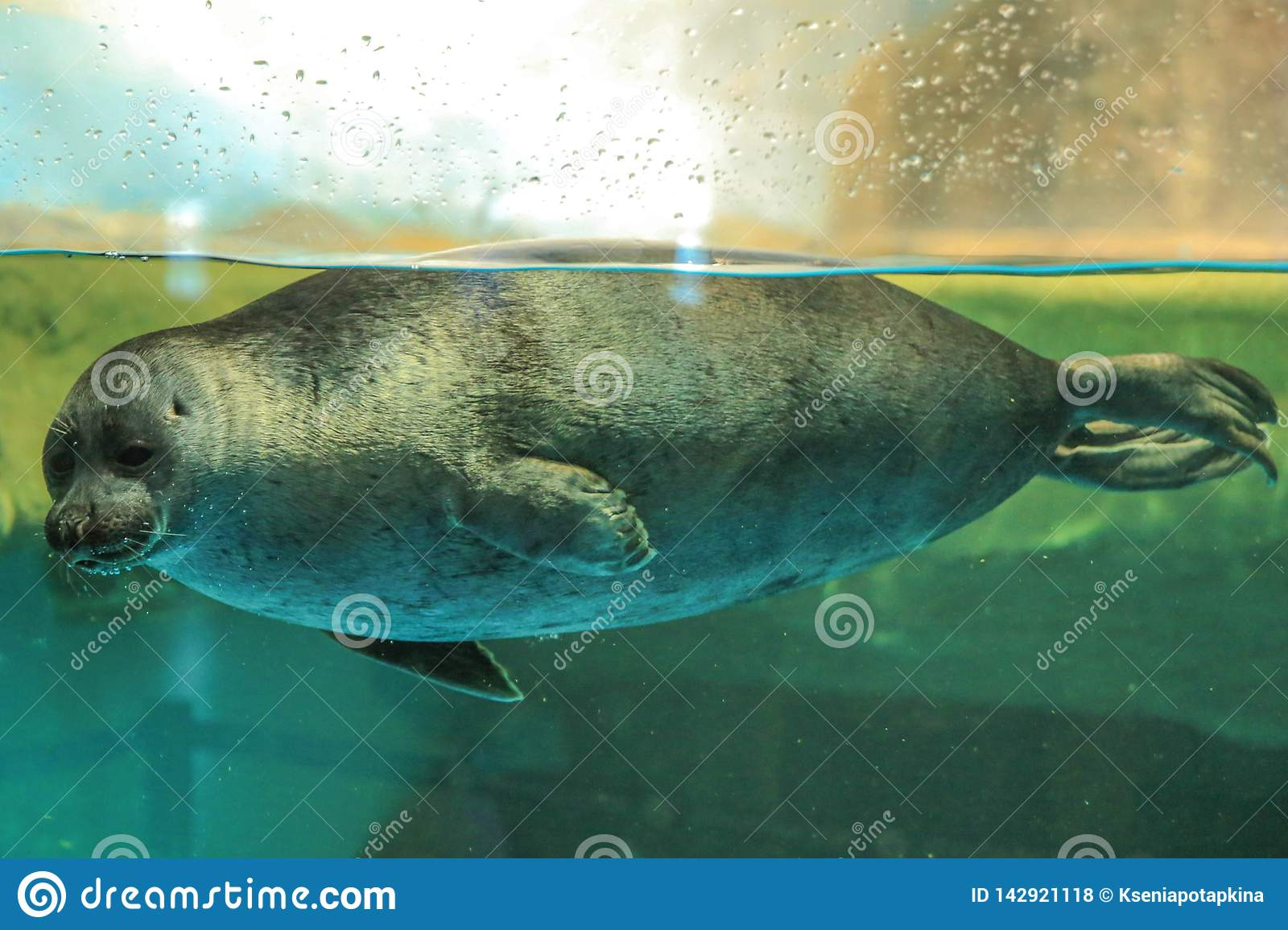 seal floats behind the