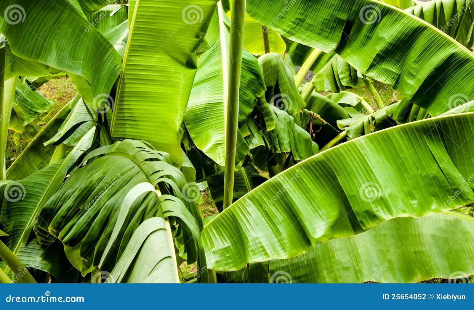Free Fall Season Wallpaper Banana Tree Leaves Stock Photo Image Of Crop Botanical