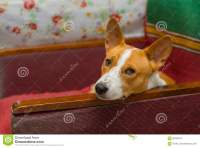 Basenji Dog Having Rest On An Old Shabby Chair Stock Photo ...