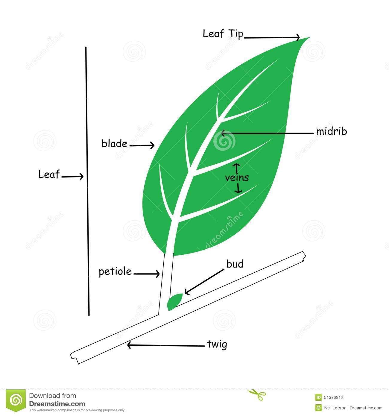Basic Illustration Of Simple Leaf Anatomy Stock