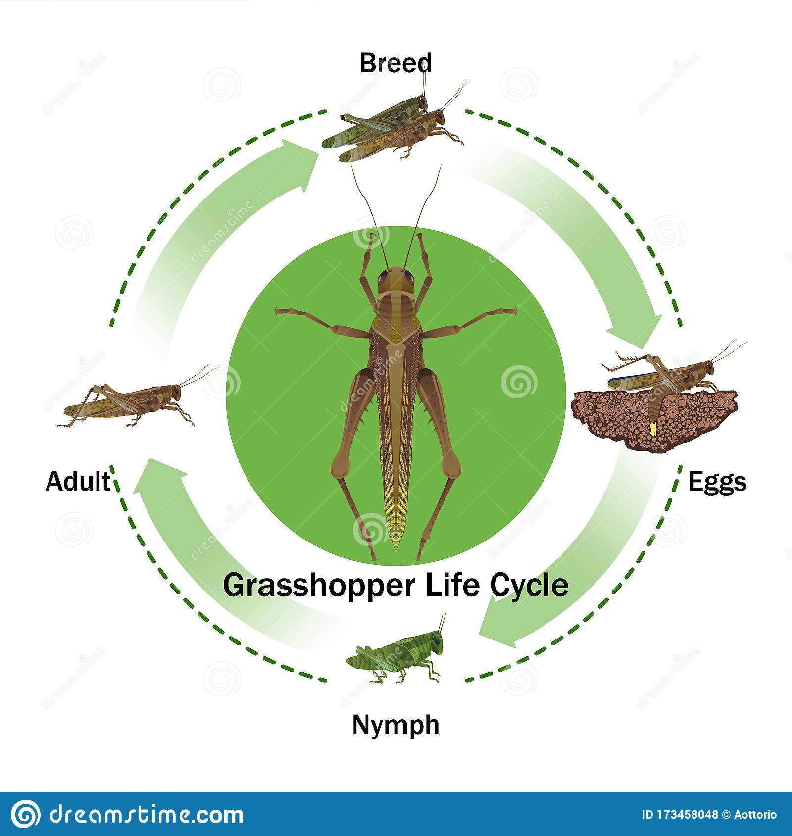 Grasshopper Life Cycle Vector For Graphic Design Stock