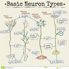 Basic Neuron Diagram Sony Xplod 100db 52wx4 Wiring Human Digestive System