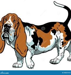 basset hound [ 1300 x 1198 Pixel ]