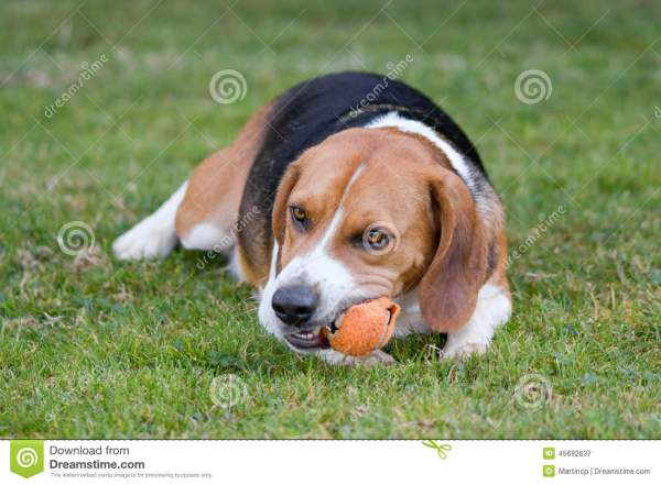 Beagle Dog Chewing Ball Stock Of