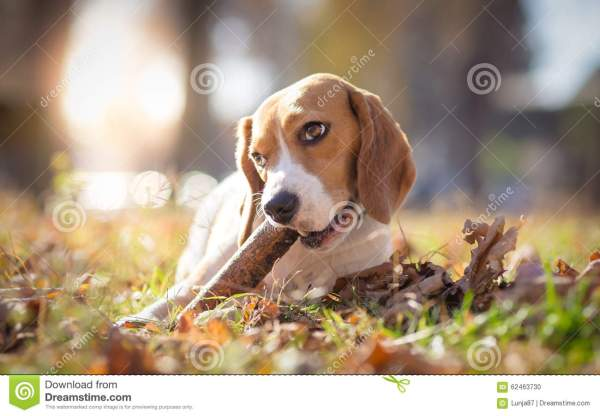 Dog Chewing Stick Stock #90394362