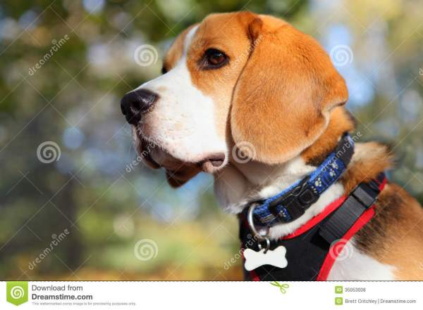 Beagle Dog Portrait Royalty Free Stock - 35053008