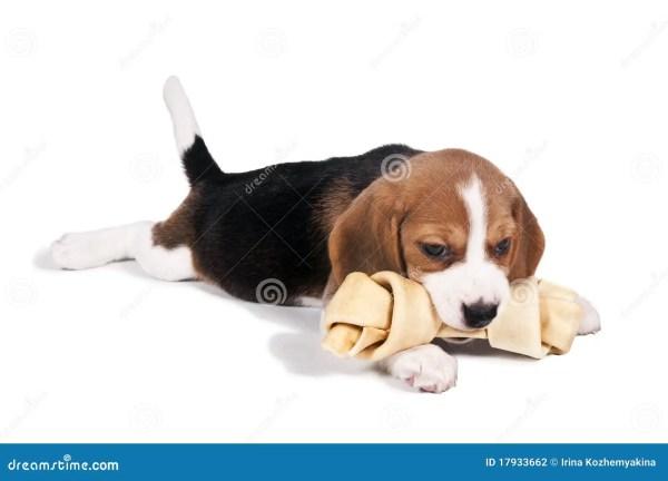 Beagle Puppy with Bone