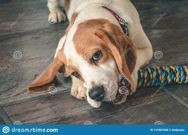 Beagle Puppy Chewing Toy Stock Of Rope - 141887848