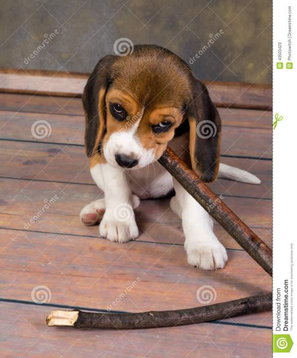 Beagle Puppies Playing with Stick