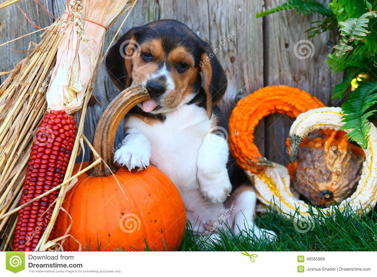 Free Fall Halloween Wallpaper Beagle Puppy Sitting With A Pumpkin Gourds And Other