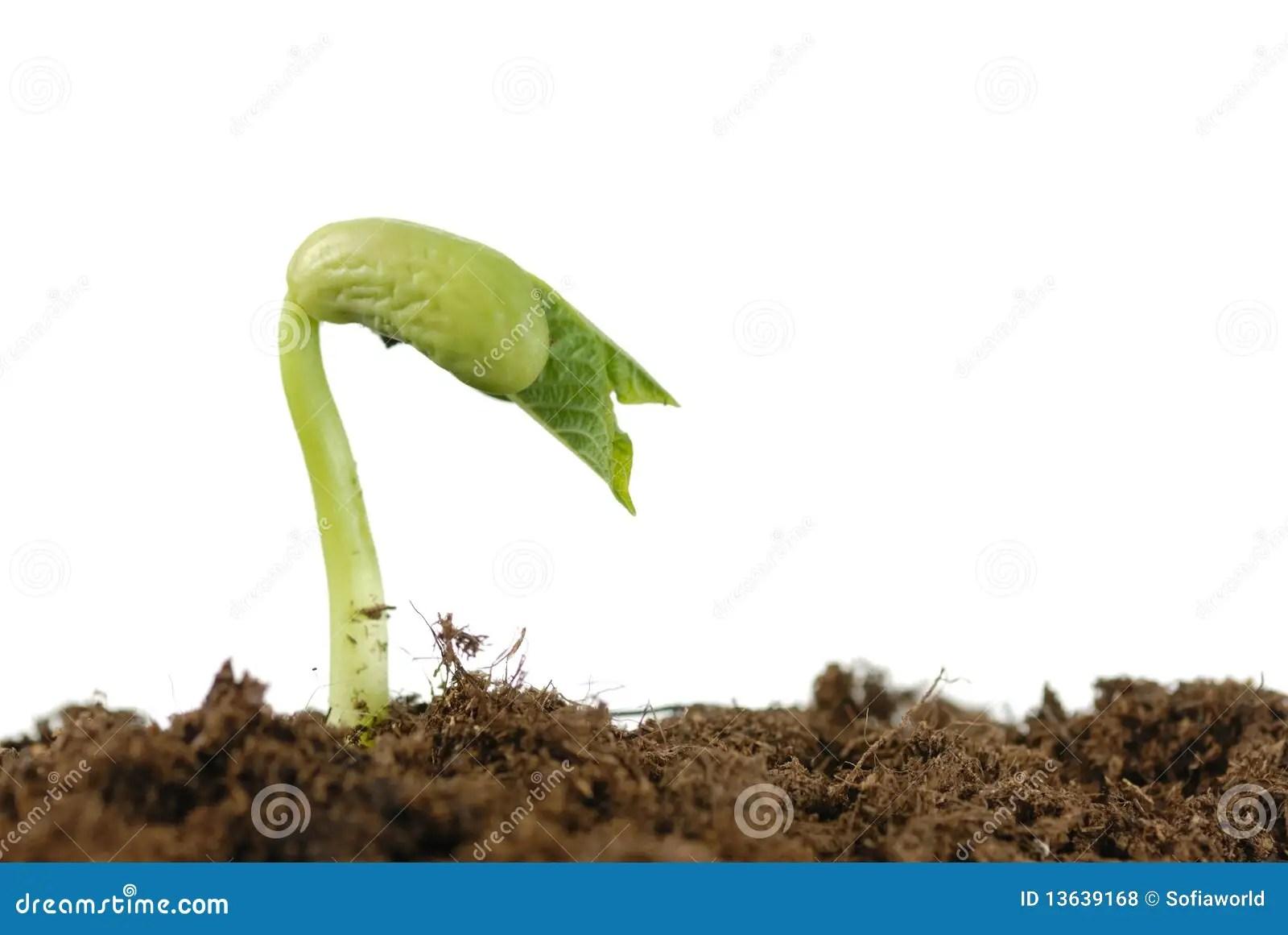 Bean Seed Germination Royalty Free Stock Photos