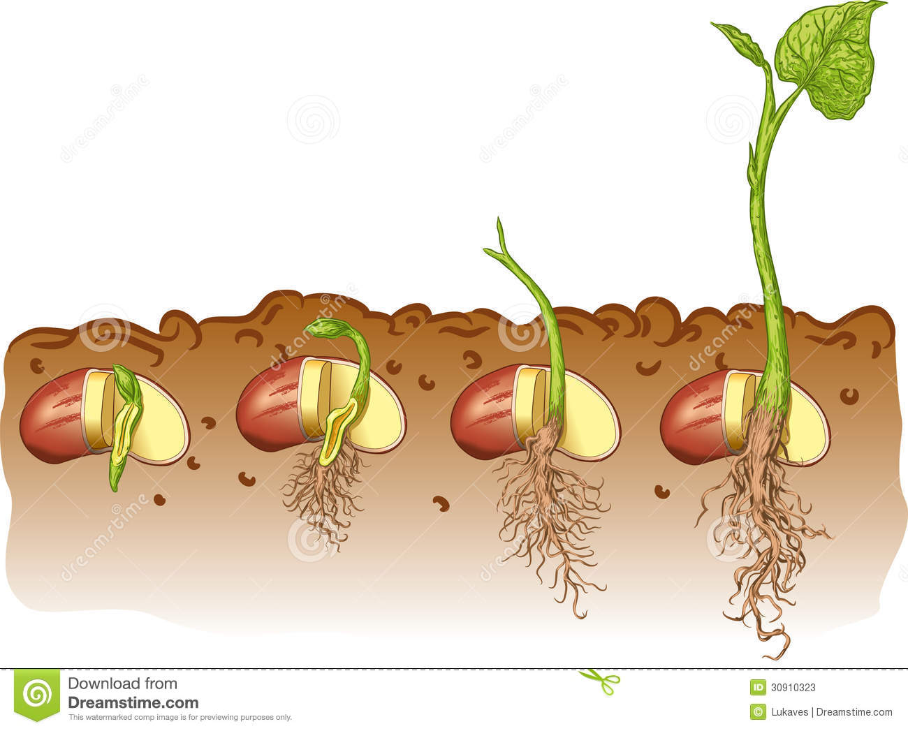 Bean Seed Diagram Worksheet