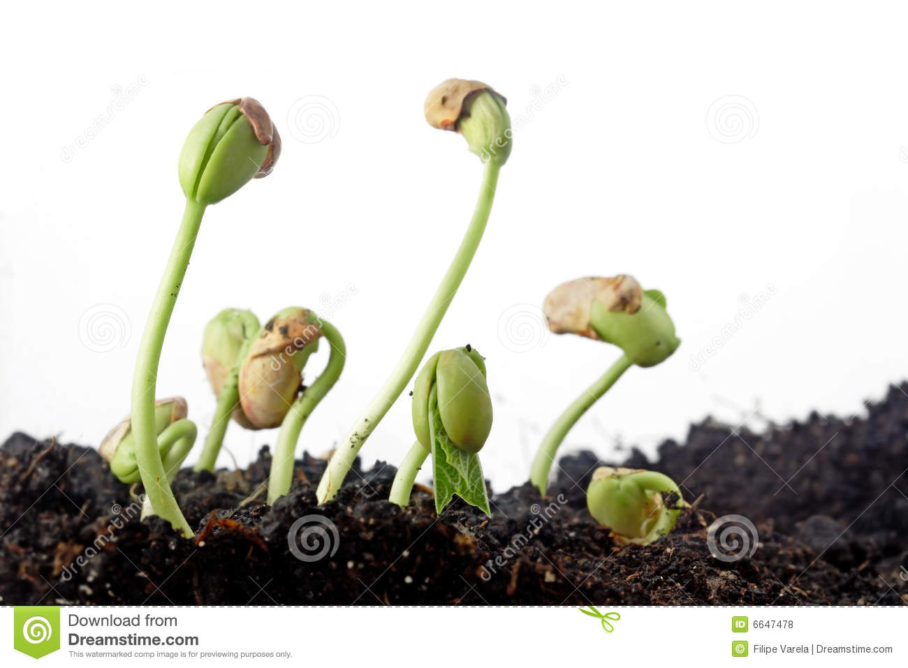 Grow Growing Plant Stock Photo Auto Electrical Wiring Diagram Bean Seed Germination Seeds Image Of Macro