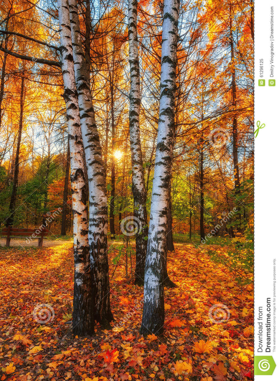 Fall Birch Tree Wallpaper Beautiful Autumn Morning In The Park With Soft Golden