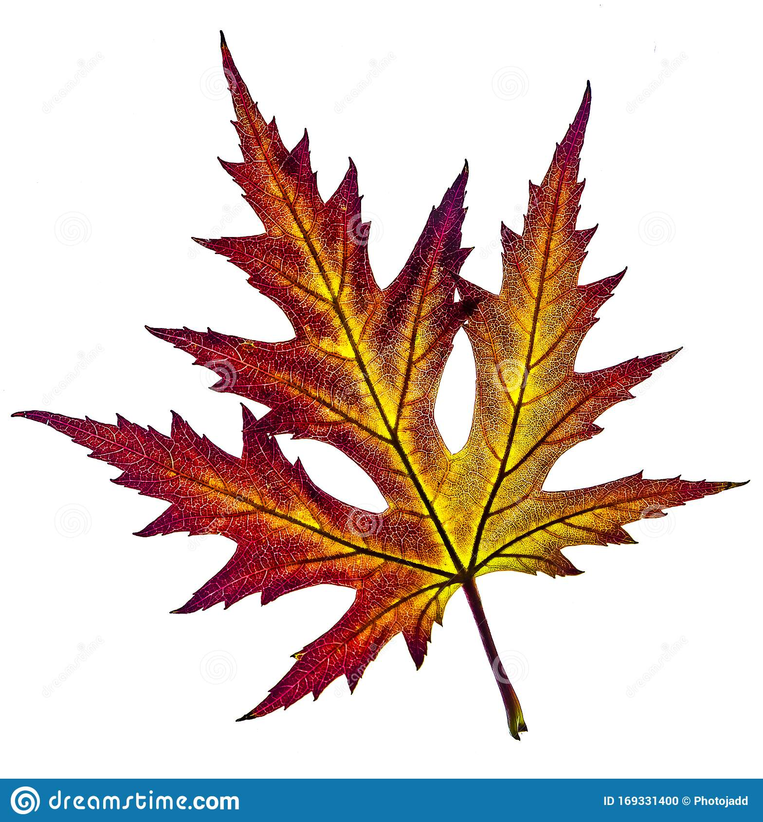 Beautiful Colorful Yellow Red Autumn Leaf Of Acer
