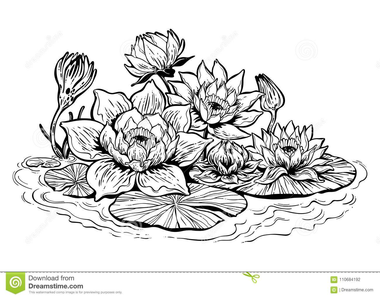 Lotus Lily Water Flower Stems In Bloom Asian Pond Stock