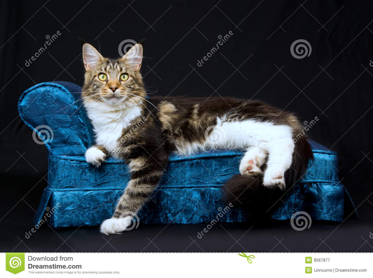 cat tunnel sofa price chandler bonded leather sectional with console beautiful maine coon on blue chaise stock image