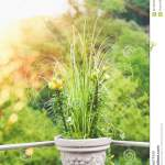 Beautiful Patio Flowers Pot With Pampas Grass And Green Lily On Balcony Or Terrace In Sunset Light Urban Container Gardening Stock Photo Image Of Backyard Ideas 96176700