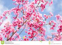 Beautiful Pink Flower Of Sakura With Blue Sky Stock Photo ...