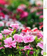 Beautiful Pink Flowers In The Garden Stock Image - Image ...