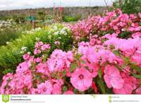 Beautiful Pink Garden Flowers Royalty Free Stock Image ...