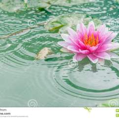 Lotus In Water Plant Diagram Best Telecaster Wiring Beautiful Pink With Reflection Stock