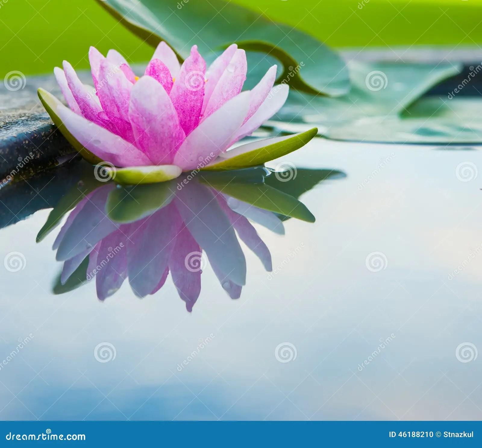 lotus in water plant diagram yamaha banshee drag wiring beautiful the pond stock photo cartoondealer