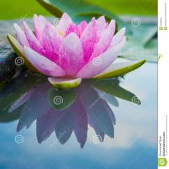 Lotus In Water Plant Diagram Dc Motor Wiring 3 Wire Beautiful Pink With Reflection A