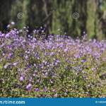 Beautiful Purple Baby S Breath Flowers In A Sunny Day Stock Photo Image Of Lovely Lavender 140554210