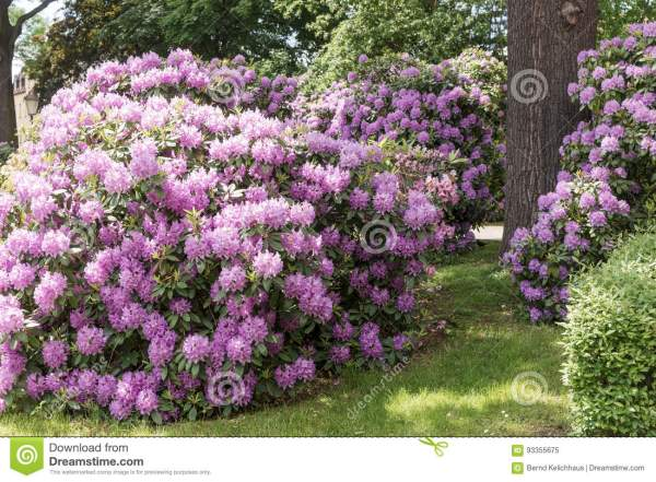 beautiful rhododendron flower bushes