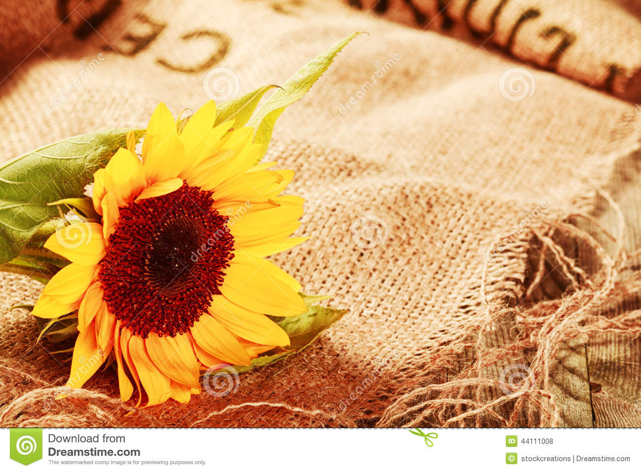 Fall Leaves Nd Burlap Wallpaper Beautiful Sunflower In A Rustic Background Stock Photo