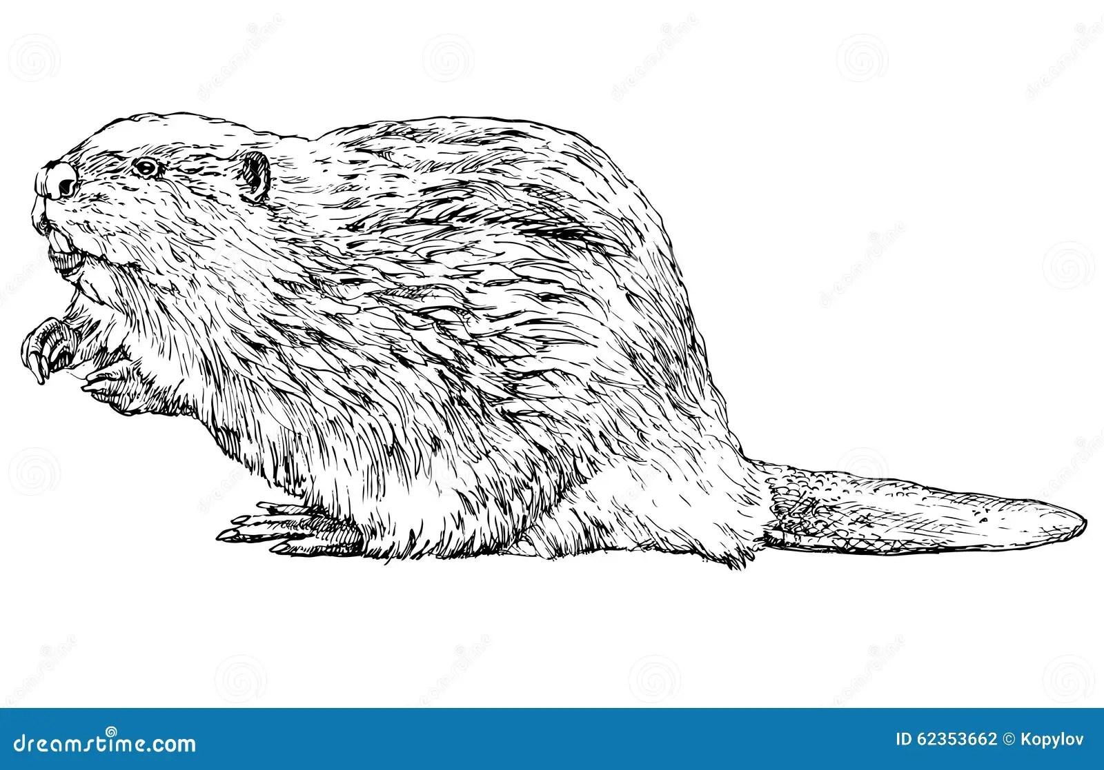 Beaver On White Stock Vector