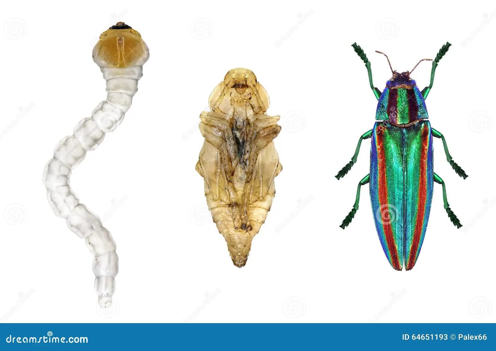 Beetle Life Cycle Worksheet