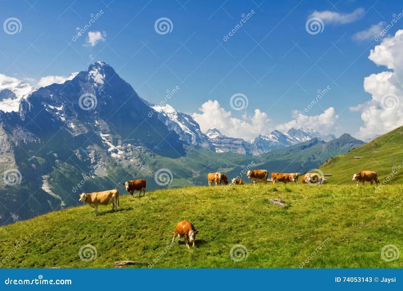 Bello Paesaggio Alpino Idilliaco Con Le Mucche Le Montagne Delle Alpi E La Campagna Di Estate Immagine Stock  Immagine di bello latteria 74053143