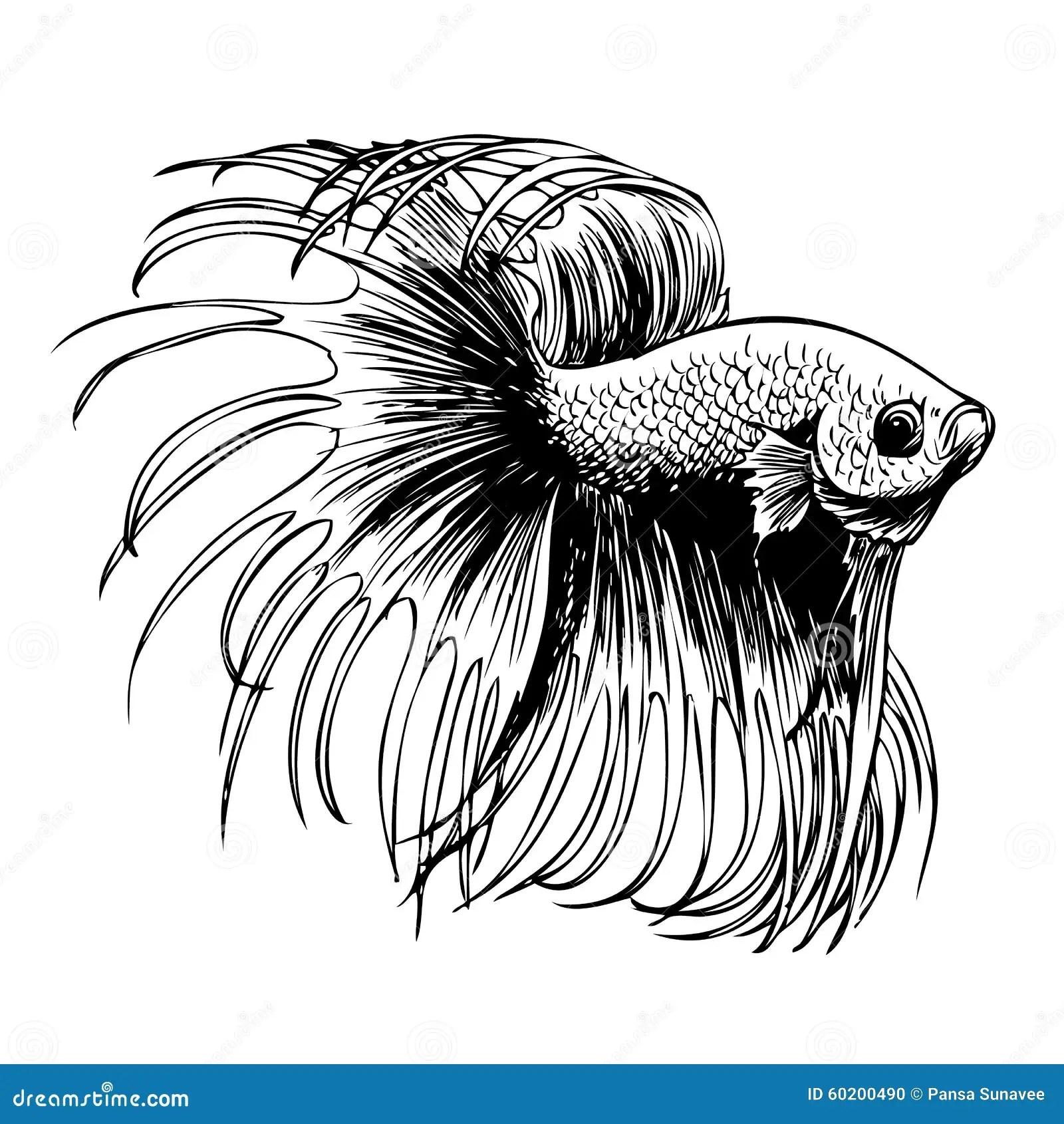Betta-splendens, Siamesischer Kampffisch Vektor Abbildung