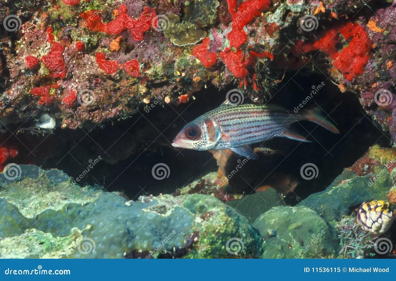big eye squirrelfish stock