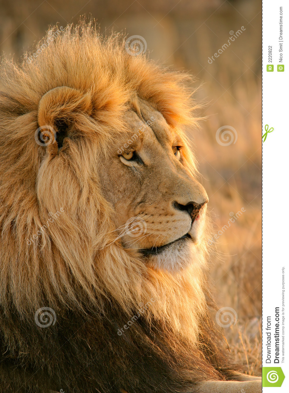 3d Moving Wallpapers For Windows 8 Free Download Big Male Lion Stock Photo Image Of Nature Predator