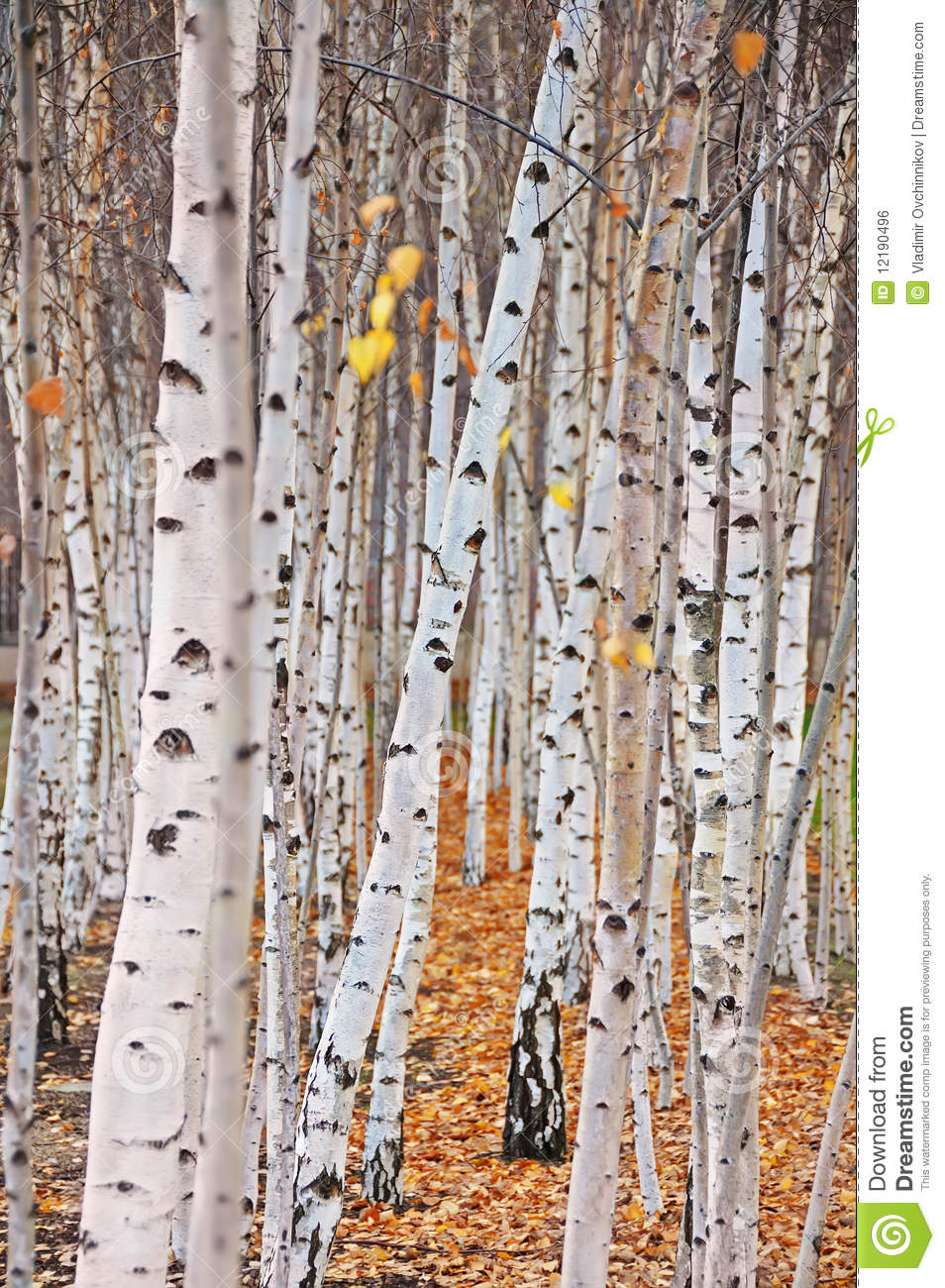 Fall Birch Tree Wallpaper Birch Trees Stock Photo Image Of Forest Woods Landscape