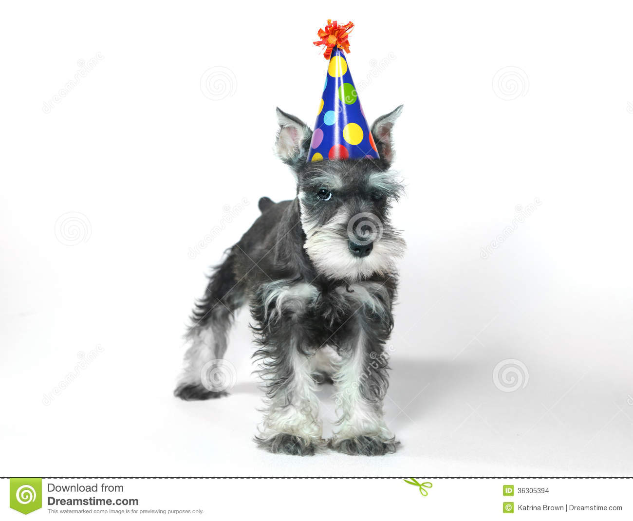 Birthday Hat Wearing Miniature Schnauzer Puppy Dog On