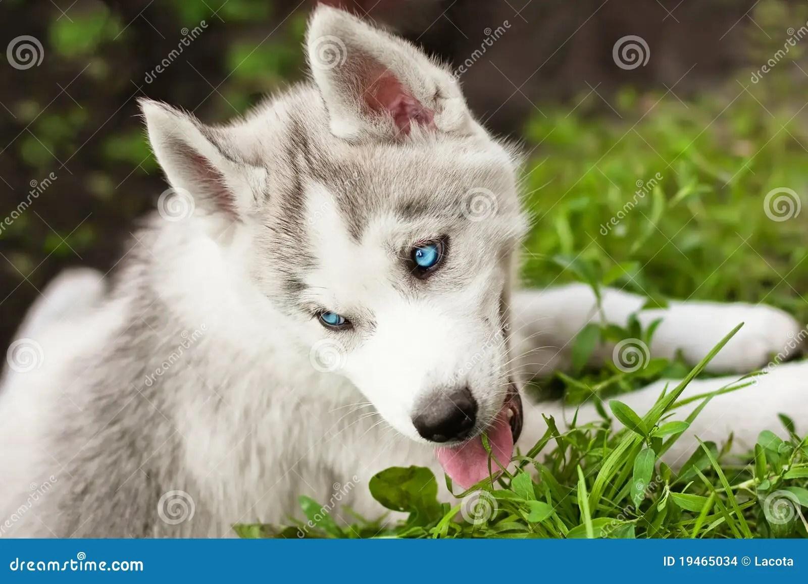 Cute Husky Puppies With Blue Eyes Wallpaper Bl 229 246 Gd Valp F 246 R Siberian Husky Arkivfoto Bild Av Husdjur