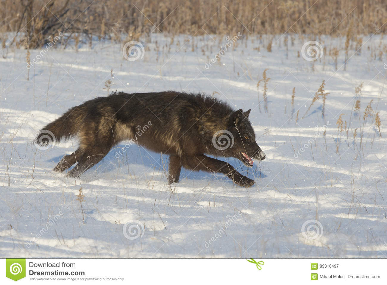 Black alpha timber wolf stock image. Image of canine - 83316497
