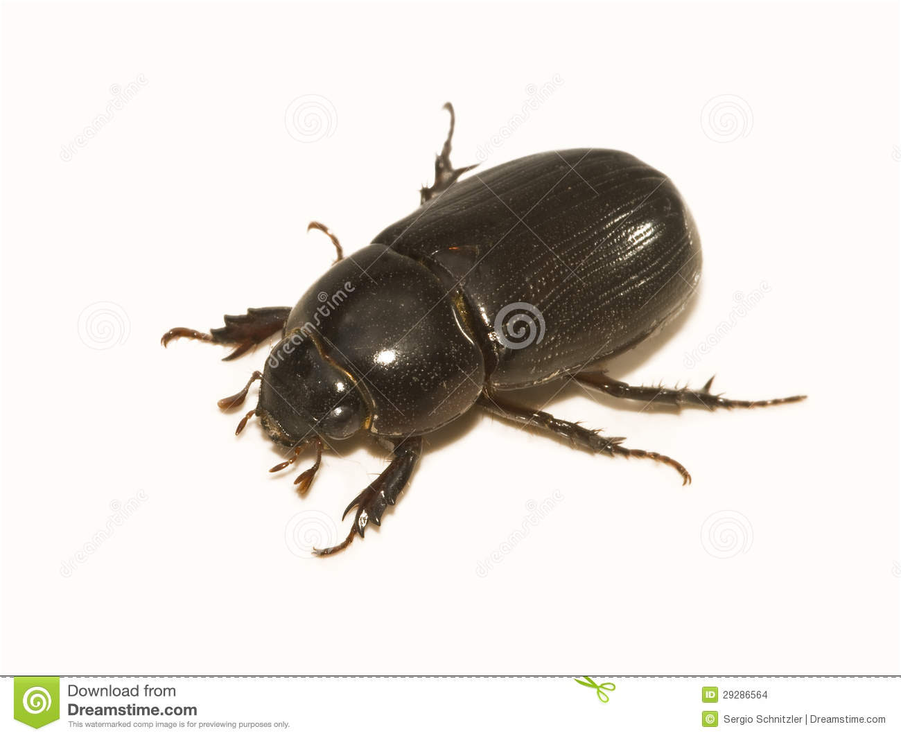 Black Beetle Stock Photo Image Of Beetle Scarab