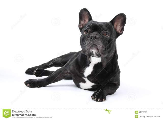 black french bulldog on white background. stock photo