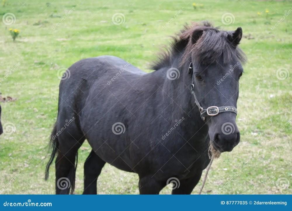 medium resolution of black pony in a farm green grass field