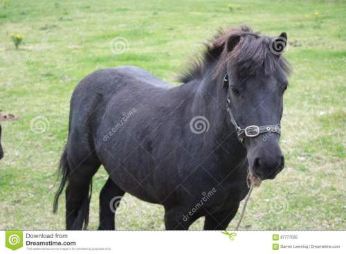 small resolution of black pony in a farm green grass field