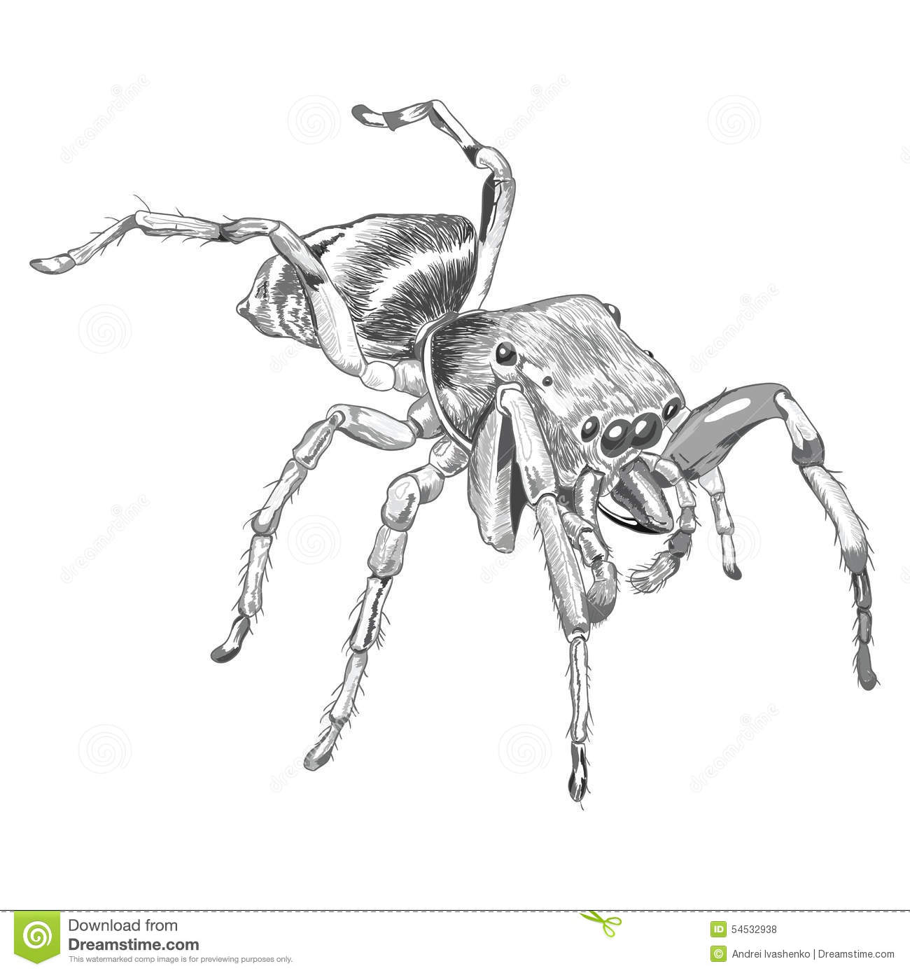 Black Widow Spider Isolated Over White Background Royalty
