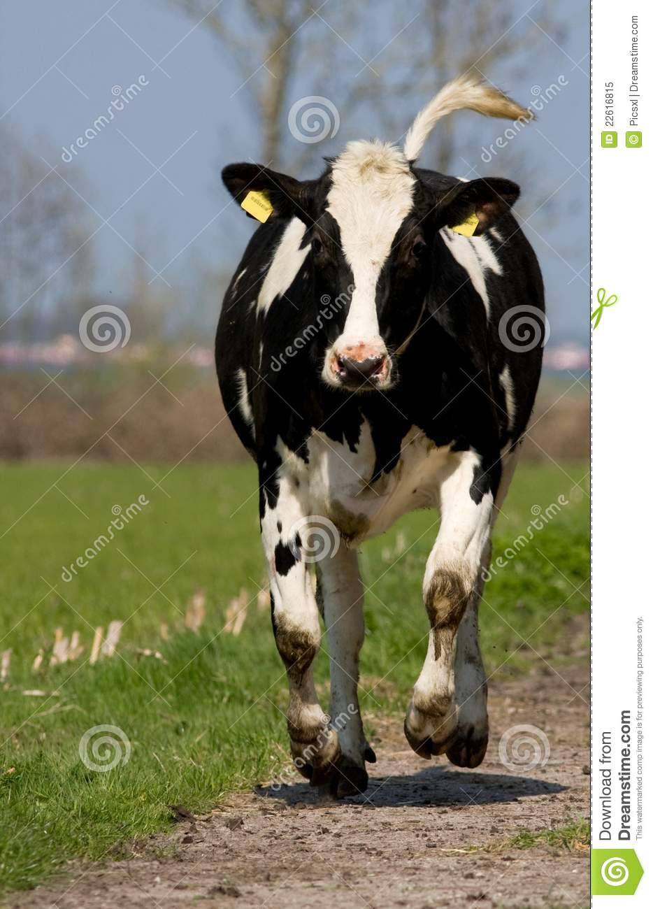 Black And White Cow Royalty Free Stock Photo Image 22616815