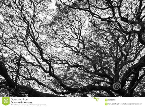 Black And White Of Giant Tree Stock - 68140329