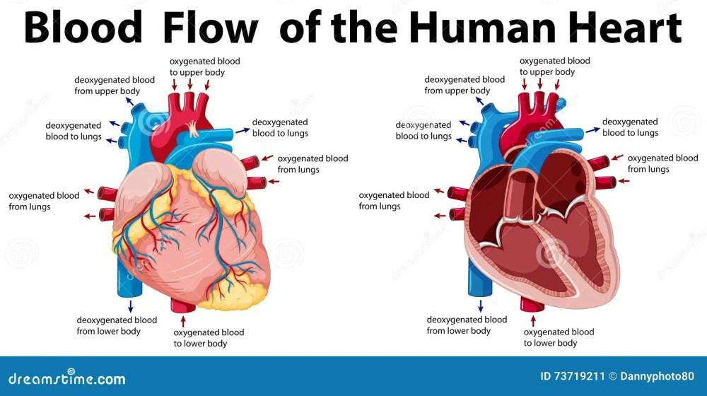 medium resolution of blood flow of the human heart illustration