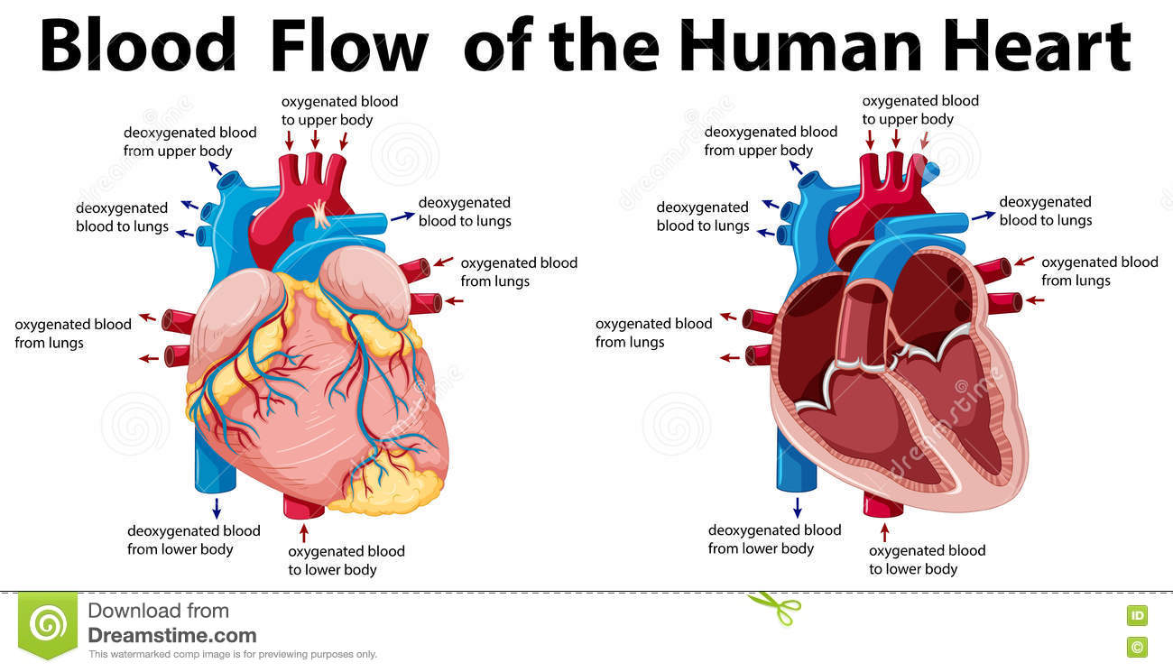 hight resolution of blood flow of the human heart illustration
